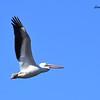 White Pelican - 11/8/2015 - Lake Hodges