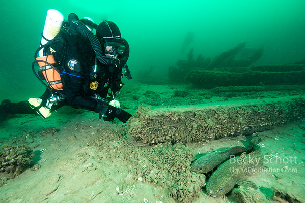 Burbot fish on wreck