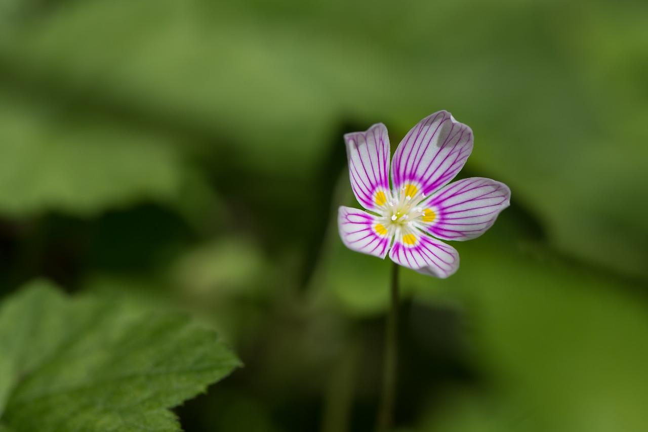 Wood Sorrel Flower