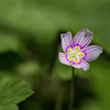 Wood Sorrel Flower