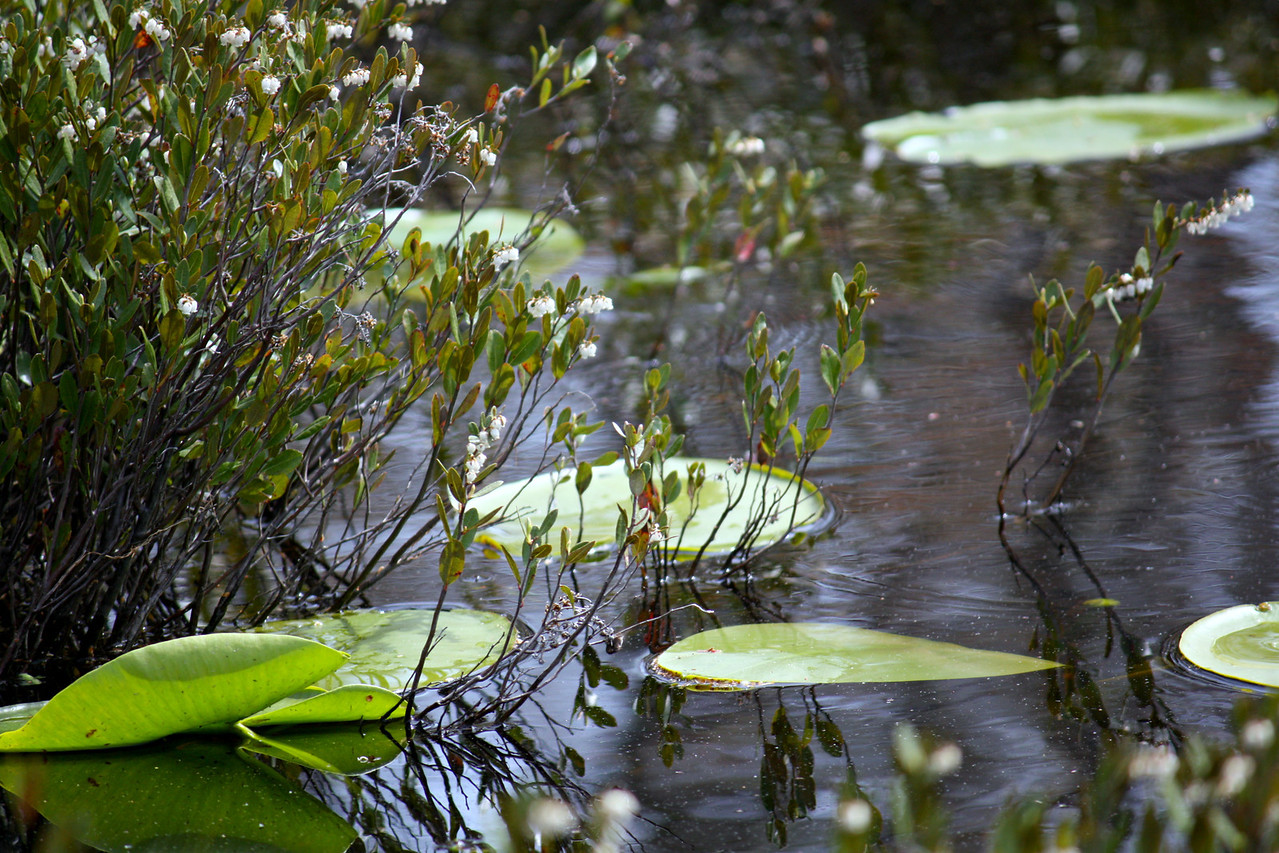 Leatherleaf And Lily Pads