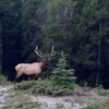 Elk near our resort