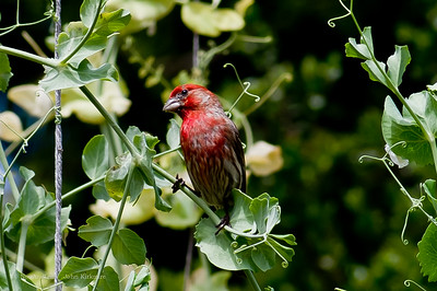 house finch (spring )