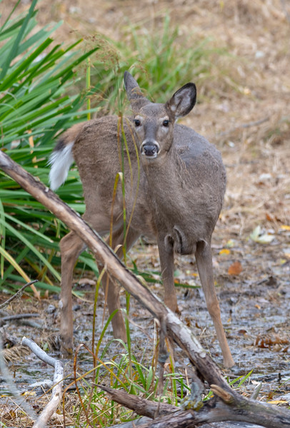 A Foraging Doe