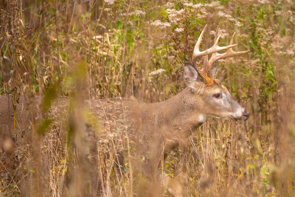 Buck on the Hunt
