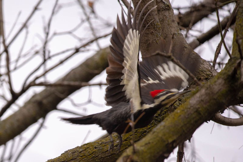 Flight of the Woodpecker