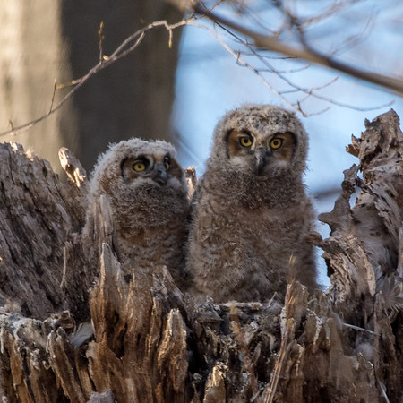 Owlets All Alone