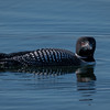 Gray's Bay Loon