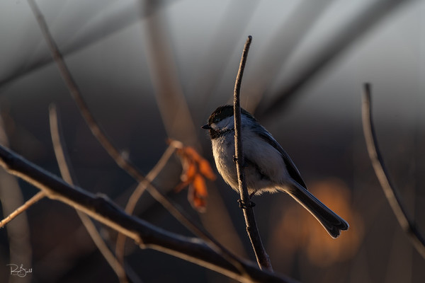 Spring Chikadee