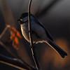 Spring Chickadee II