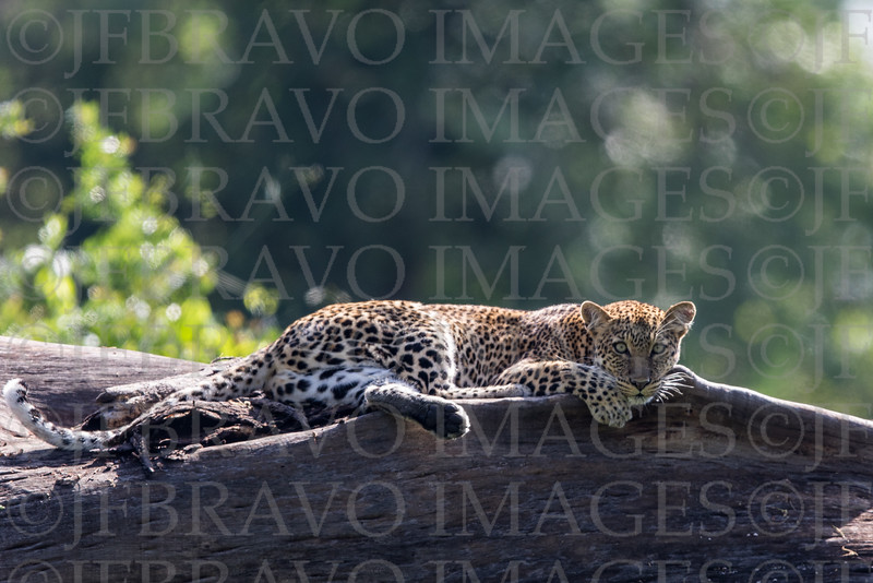 Young leopard at rest