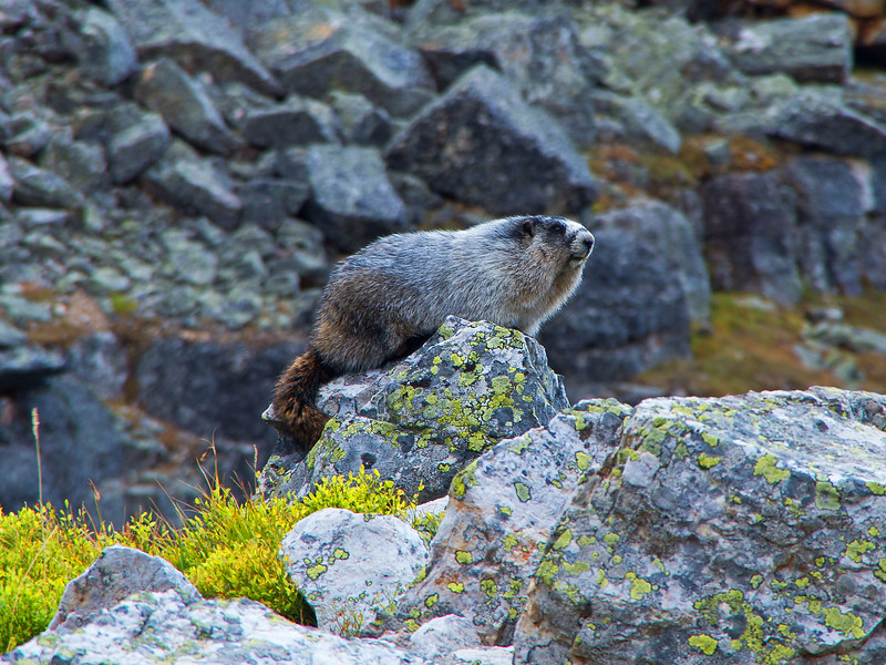 Marmots favour the Opabin Plateau- this one seemed quite unconcerned about our presence.