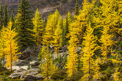 Lake O'Hara, Larches