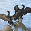 Cormorants on the Willamette - Lake Oswego