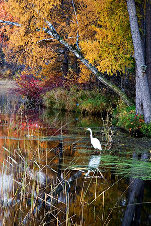 Egret in fall