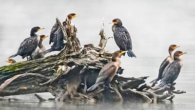 Cormorants in Fog Fine Art Print