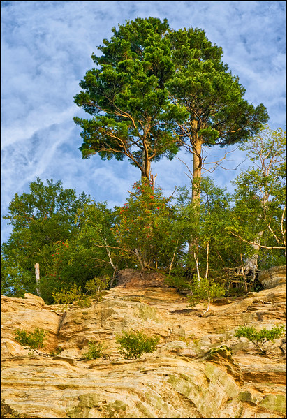 Majestic Pines Towering at Cliff's Edge