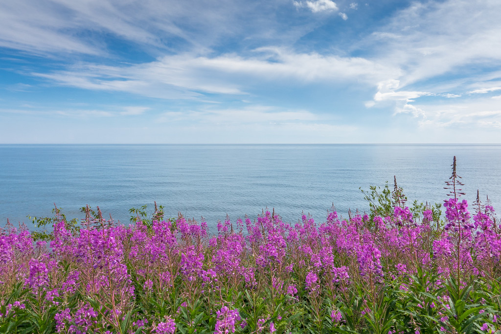 """SUPERIOR SUMMER 00523<br /> <br /> """"Fireweed Shoreline""""<br /> <br /> A beautiful patch of fireweed along the Lake Superior near Five Mile Rock just north of Grand Marais, MN"""