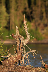 "SUSIE ISLANDS 3446  ""Weathered Tree, Big Susie Island"""