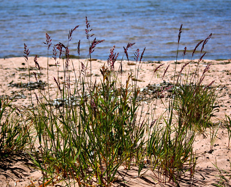 Beach Grass Surf And Turf