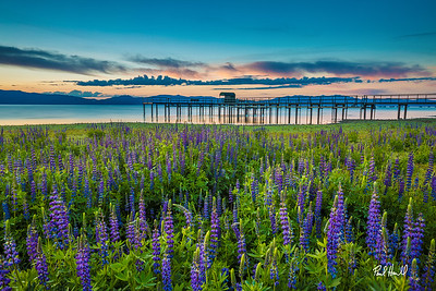 Lupine Sunrise - Lake Tahoe