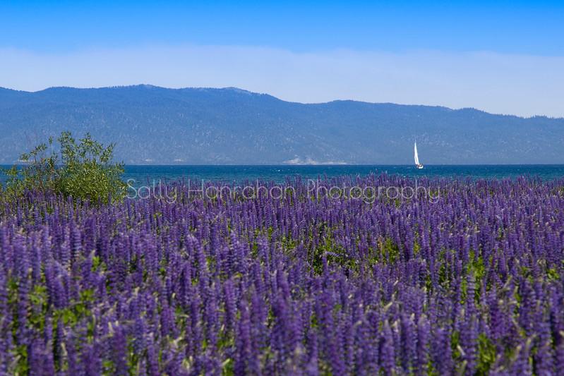 Lake Tahoe Lupine and Sailboat