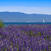 Lake Tahoe Lupine and Sailboat