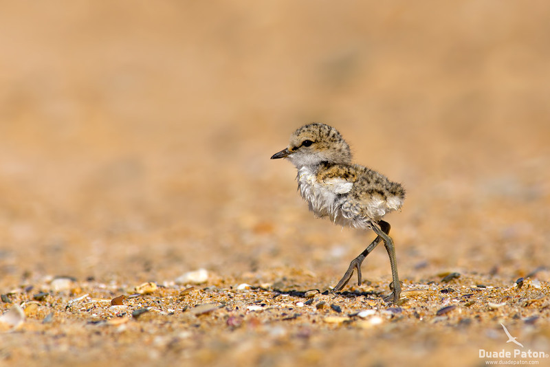 Red-capped Plover - Chick