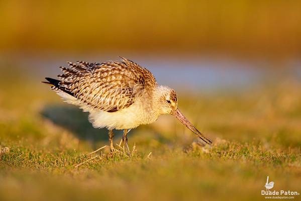 Bar-tailed Godwit