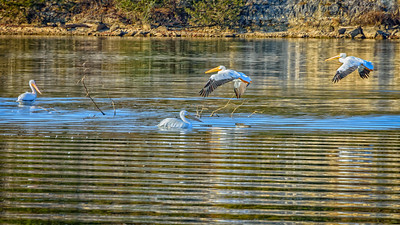 Lake of the Ozarks White Pelicans