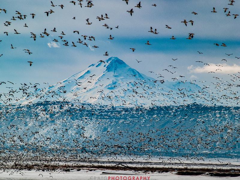Winter Geese and Swans at Tule Lake Wildlife Refuge 2