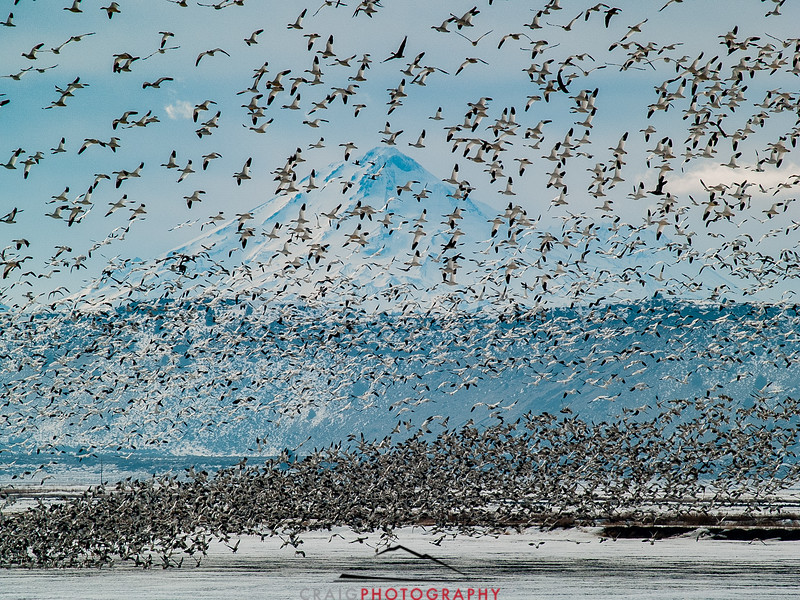 Winter Geese and Swans at Tule Lake Wildlife Refuge 1