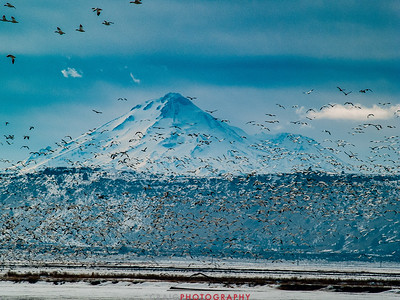 Winter Geese and Swans at Tule Lake Wildlife Refuge 3