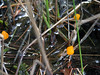Little Polliwog Pond - strange orange fungus