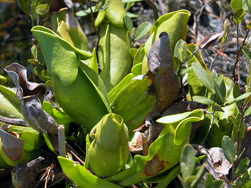 Osgood Pond - Church Pond - pitcher plant