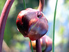 Little Polliwog Pond - pitcher plant blossom