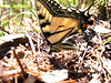 Brandy Pond - Swallowtail butterflies
