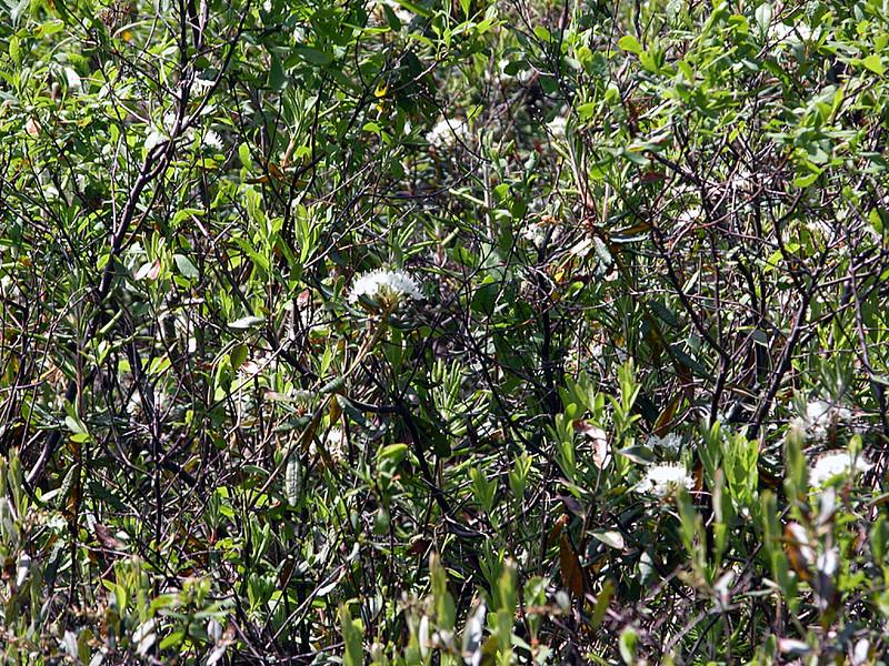 Polliwog Pond - labrador tea in bloom