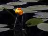 Little Polliwog Pond - Yellow waterlily (Nuphar) blossom