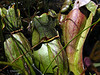 Little Polliwog Pond - pitcher plant
