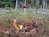 Little Polliwog Pond- pitcher plant