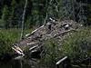 Little Polliwog Pond - beaver lodge