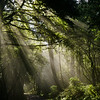 Sunbeams Through Forest, Ridgecrest, Mt. Tamalpais