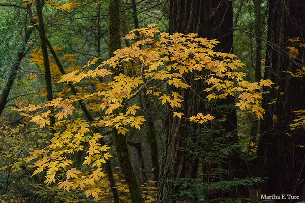 Maple Leaves, Lagunitas Creek