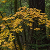 Maple Leaves, Lagunitas Creek