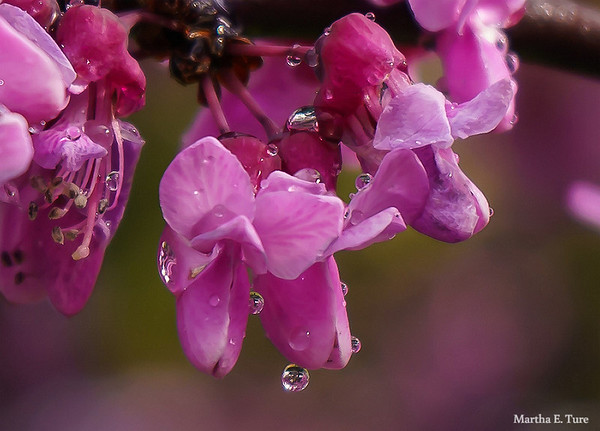 Redbud Flowers With Raindrops