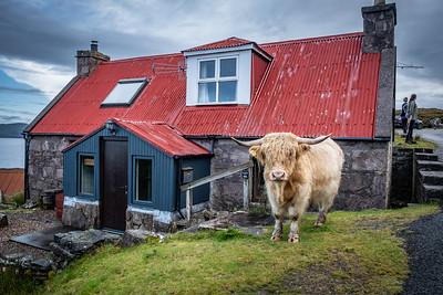 Highland Cow, Torridon