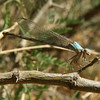 Texas - Blue-fronted Dancer (Argia apicalis), female, along the Rio Grande