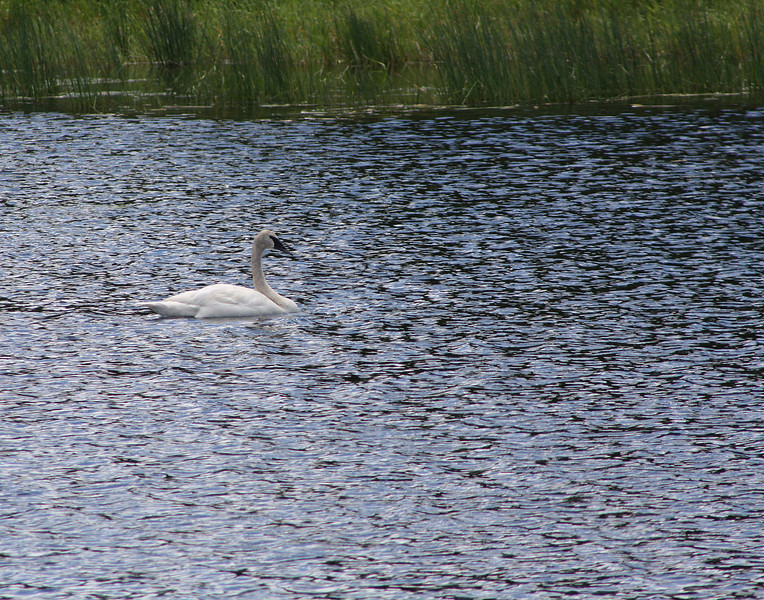 """Lakes in New Light: Robert, 14 - """"Swan in the Bay"""""""