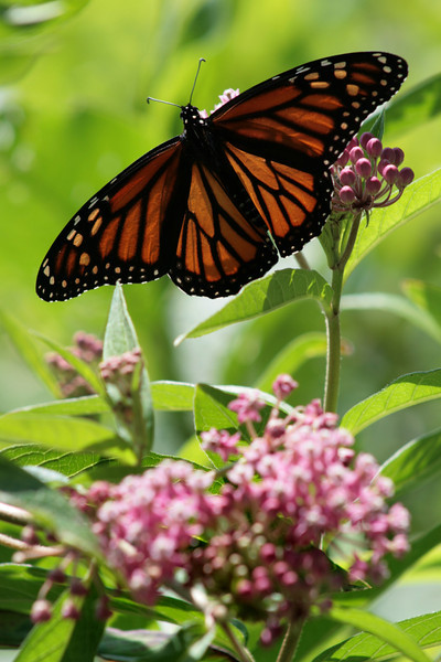 Monarch butterfly visiting the flowers at Crooked Lake.